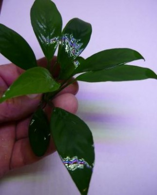 Продам излишки растений - P1100693.JPG