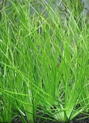 Продам излишки растений - P018374.jpg