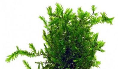 Продам излишки растений - fontinalis-antipyretica-var-gigantea-portion.jpg