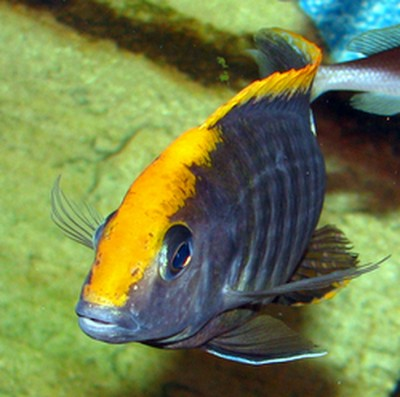 Большой ассортимент  Аквариумных рыбок - аулонокара майланди2.jpg