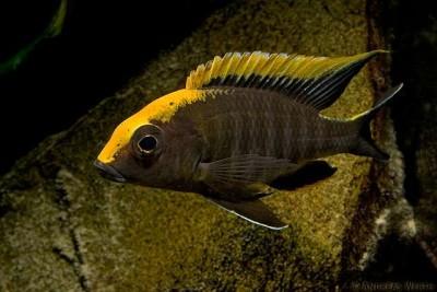 Большой ассортимент  Аквариумных рыбок - аулонокара майланди 3.jpg