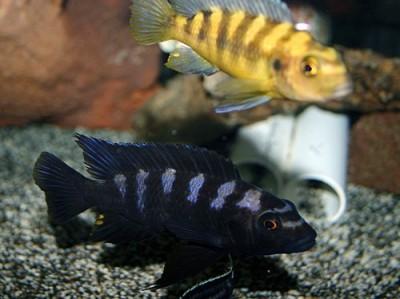 Большой ассортимент  Аквариумных рыбок - крабро2.jpg