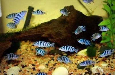 Большой ассортимент  Аквариумных рыбок - ломбардо.jpg