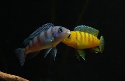 Большой ассортимент  Аквариумных рыбок - ломбардо4.jpg
