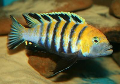 Большой ассортимент  Аквариумных рыбок - цинотиляпия афра эдвар кобуе2.jpg
