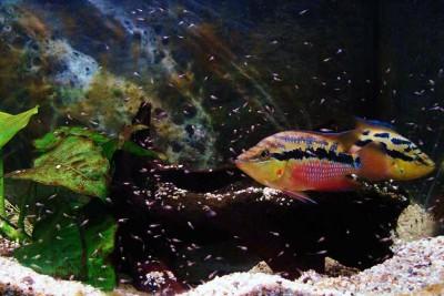 Большой ассортимент  Аквариумных рыбок - сальвини 2.jpg