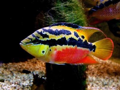 Большой ассортимент  Аквариумных рыбок - сальвини.jpg