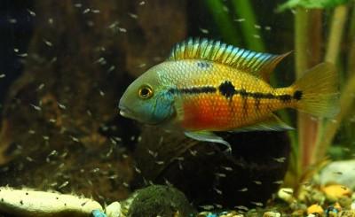 Большой ассортимент  Аквариумных рыбок - никарагуанская.jpg