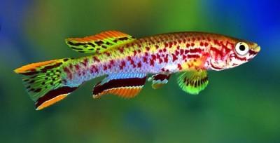 Большой ассортимент  Аквариумных рыбок - афиосемион гарднера.jpg
