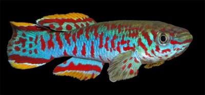 Большой ассортимент  Аквариумных рыбок - афиосемион гарднера2.jpg