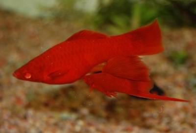 Большой ассортимент  Аквариумных рыбок - меченосец рубиновый 3.JPG