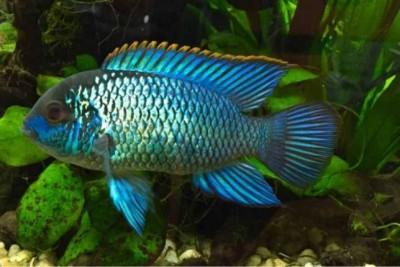 Большой ассортимент  Аквариумных рыбок - nannakara-blyu-neon-tashkent.jpg