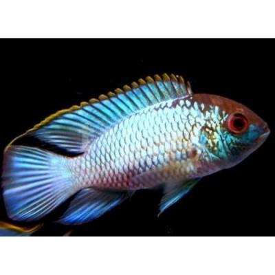 Большой ассортимент  Аквариумных рыбок - nanoakara.jpg