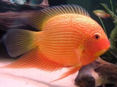 Большой ассортимент  Аквариумных рыбок - северум красноточечный.jpg