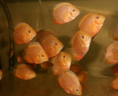 Большой ассортимент  Аквариумных рыбок - северум красноточечный молодь.jpg