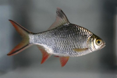 Большой ассортимент  Аквариумных рыбок - leshevidniy-barbus2.jpg
