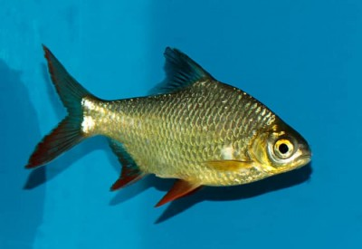 Большой ассортимент  Аквариумных рыбок - leshevidnogo-barbusa.jpg