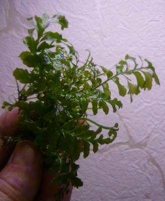 Продам излишки растений - P1100854.JPG