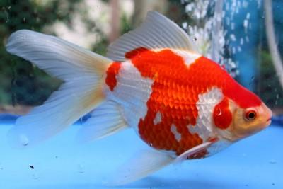 Есть такие рыбки Сабао и Тамасаба - 7gFCT3lU5fE.jpg