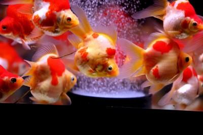 Есть такие рыбки Сабао и Тамасаба - -8EoVqwUC6Y.jpg