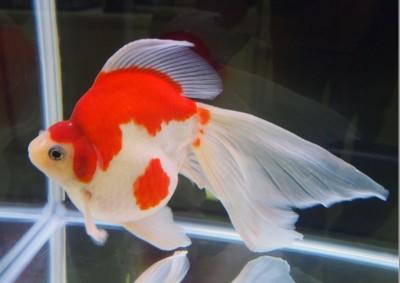 Есть такие рыбки Сабао и Тамасаба - 16.JPG
