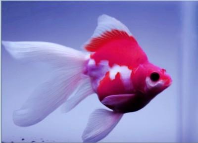 Есть такие рыбки Сабао и Тамасаба - 18.JPG
