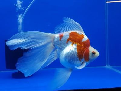 Есть такие рыбки Сабао и Тамасаба - 27747492_1994960214091825_3408833420858921503_o.jpg