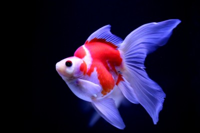 Есть такие рыбки Сабао и Тамасаба - aKvESbAz0Mc.jpg