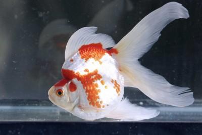 Есть такие рыбки Сабао и Тамасаба - C8Rv2rDNeCk.jpg