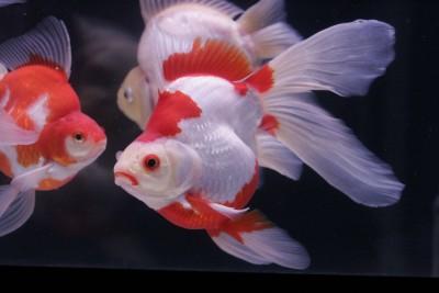 Есть такие рыбки Сабао и Тамасаба - kabu3.jpg