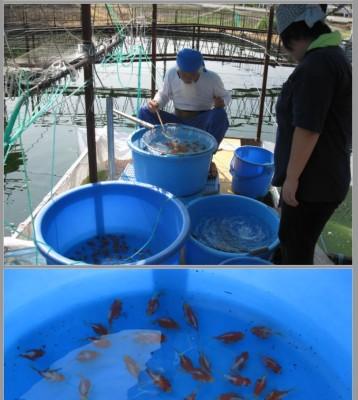 Есть такие рыбки Сабао и Тамасаба - 6.JPG