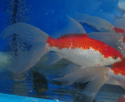 Есть такие рыбки Сабао и Тамасаба - 7fvVB4hYeI4.jpg