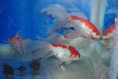 Есть такие рыбки Сабао и Тамасаба - zalGQXbRg2Q.jpg