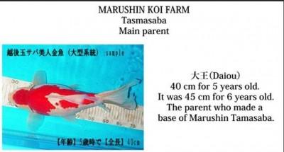 Есть такие рыбки Сабао и Тамасаба - Снимок.JPG