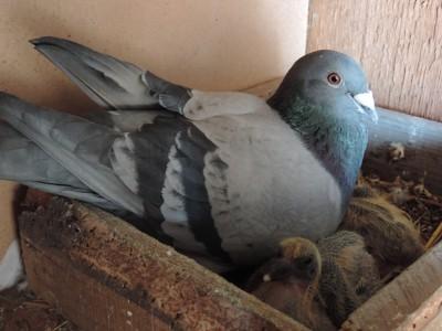 Кто нибудь голубей держит? - DSCN0541.JPG