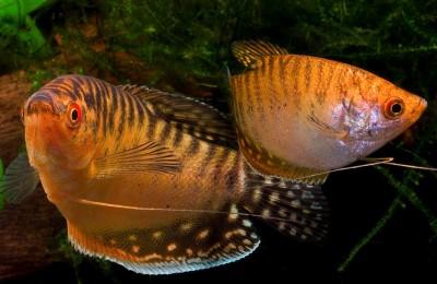 Большой ассортимент  Аквариумных рыбок - гурами золото.jpg