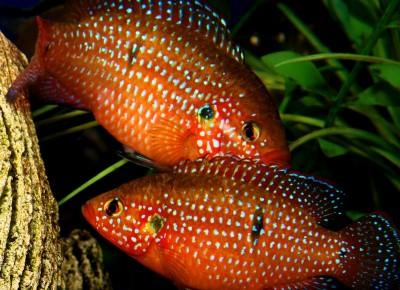 Большой ассортимент  Аквариумных рыбок - хромис 1.jpg