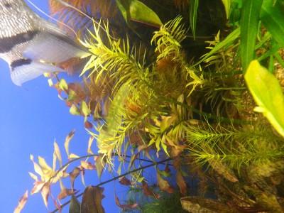 Проблемное растение погостимон звездчатый нижние листья вечно скидывает. - 1523972453565.jpg