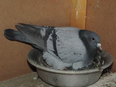 Кто нибудь голубей держит? - DSCN0642.JPG
