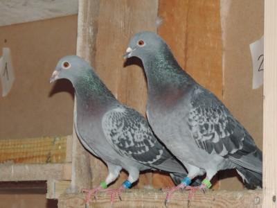 Кто нибудь голубей держит? - DSCN0666.JPG