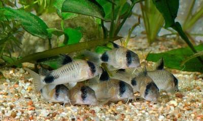 Большой ассортимент  Аквариумных рыбок - somik-panda.jpg