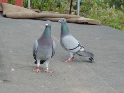 Кто нибудь голубей держит? - DSCN0727.JPG