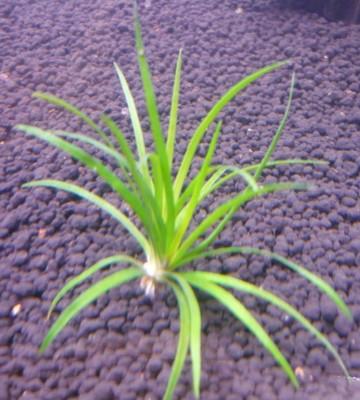 Продам излишки растений - P1090808.JPG