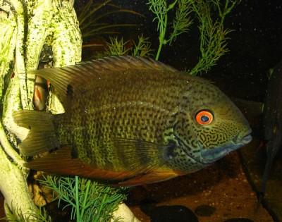 Большой ассортимент  Аквариумных рыбок - северум природный 2.jpg