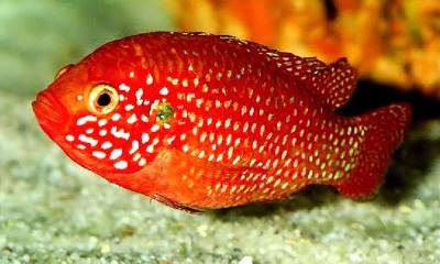 Большой ассортимент  Аквариумных рыбок - хромис-красавец.jpg