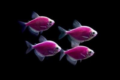 Большой ассортимент  Аквариумных рыбок - тернеция пурпурная.jpg