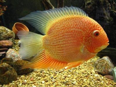 Большой ассортимент  Аквариумных рыбок - красноточечный 2.jpg