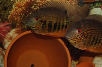 Большой ассортимент  Аквариумных рыбок - северум природный.jpg