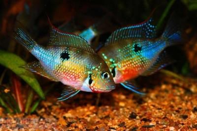 Большой ассортимент  Аквариумных рыбок - cihlazomy элиота.jpg