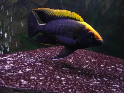 Большой ассортимент  Аквариумных рыбок - аулонокара майланди.jpg